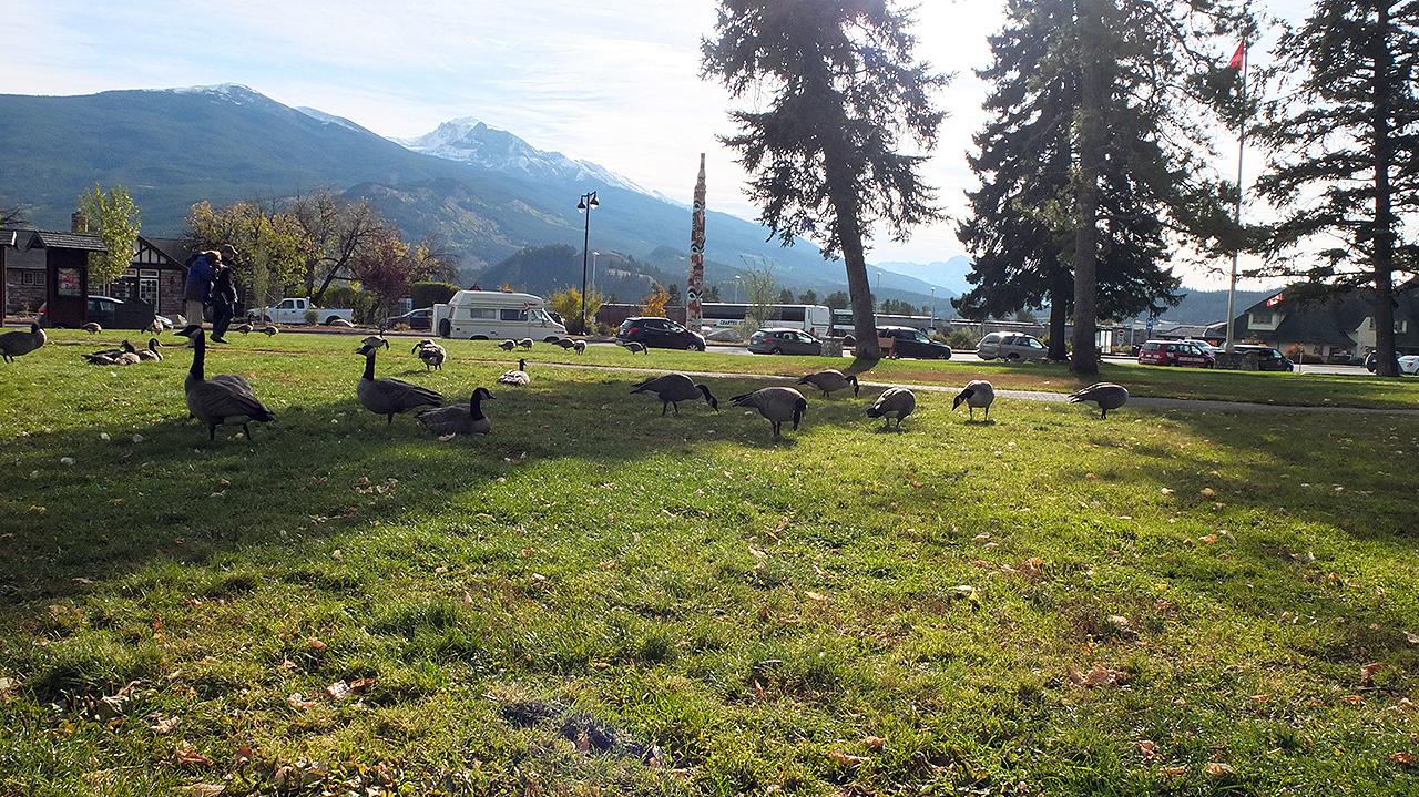 バスツアー予約の時間つぶしにジャスパーの街を散策。カモ?が街の中の公園で日光浴中。