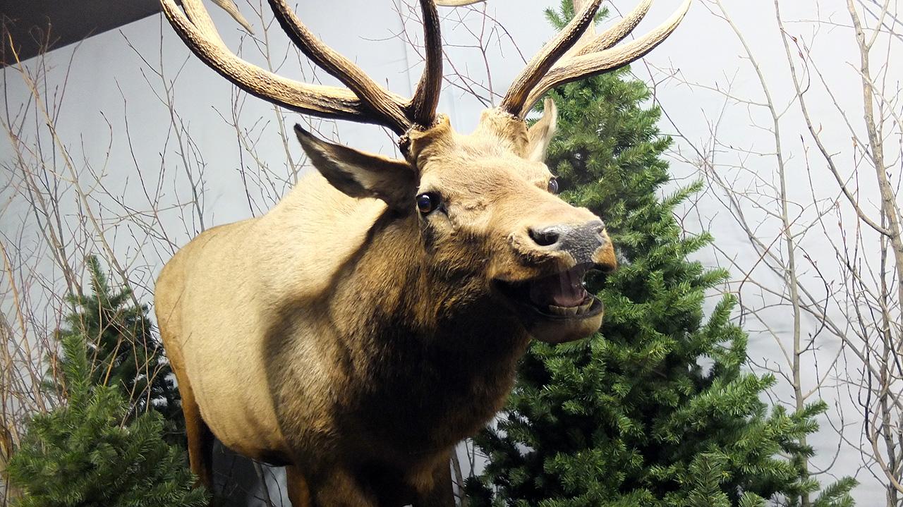 最後はグリズリーよりもデカイ、ムース!これ、山の中で見たら間違いなくシシガミ様だよね。あまりのデカさに圧倒される。
