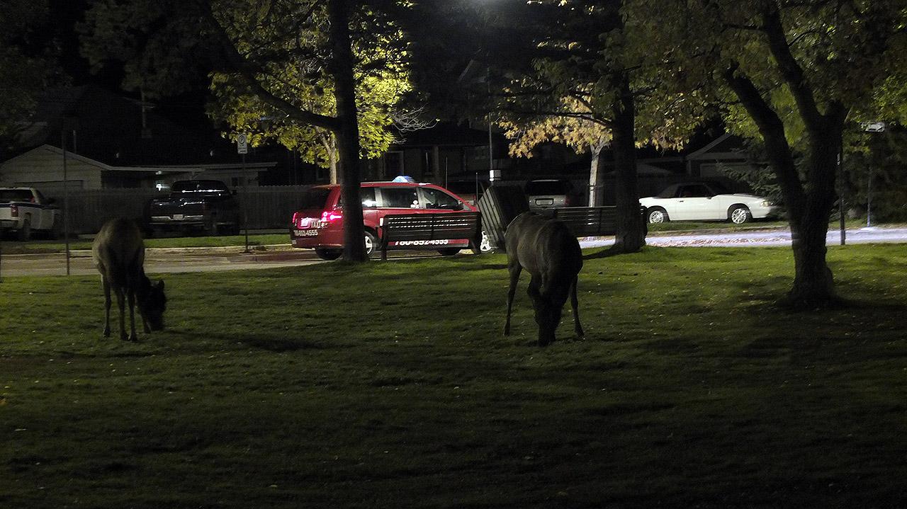 バスへ乗る直前の深夜にジャスパーの公園にエルク達が!奈良公園の鹿くらい街中で見られますが、こんなに集まっていたのは初めて。ちなみに、エルクは本当に凶暴らしいので絶対に近づかないように!