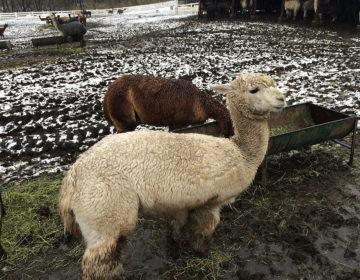 栃木那須の「アルパカ牧場」にてアルパカ達と触れ合ってきました