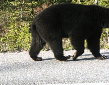 【カナダワーホリ】ジャスパーへ向かうハイウェイでクマに遭遇!