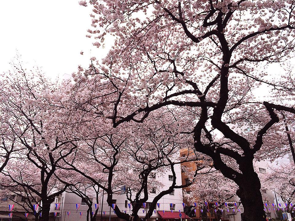 丸ノ内線茗荷谷駅の播磨坂でお花見をしてきました