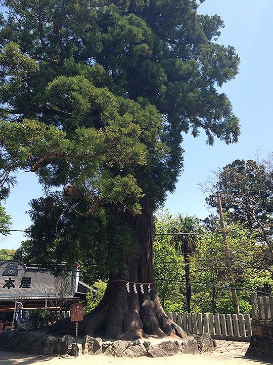 こちらはご神木かな。注連縄があるかなり大きな木でした。