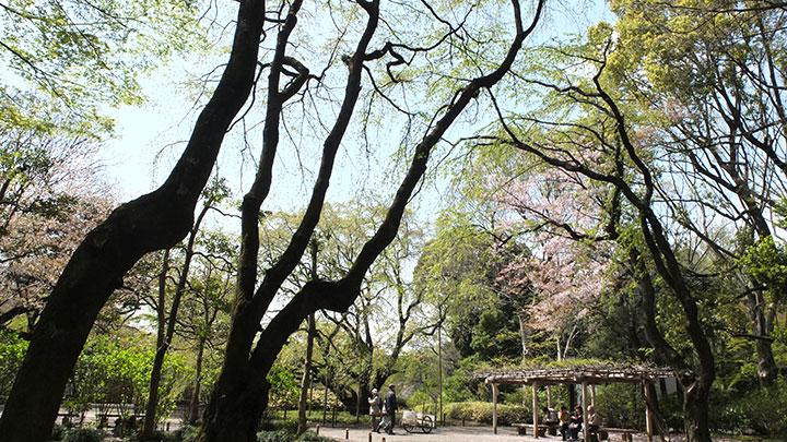 ライトアップで有名なしだれ桜は既に散ってましたー。残念!