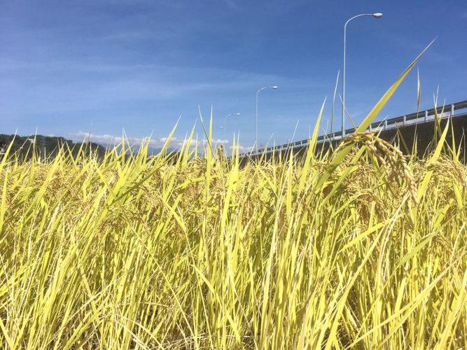 山梨県北杜市の48米稲刈り&収穫体験ツアーに行ってきました