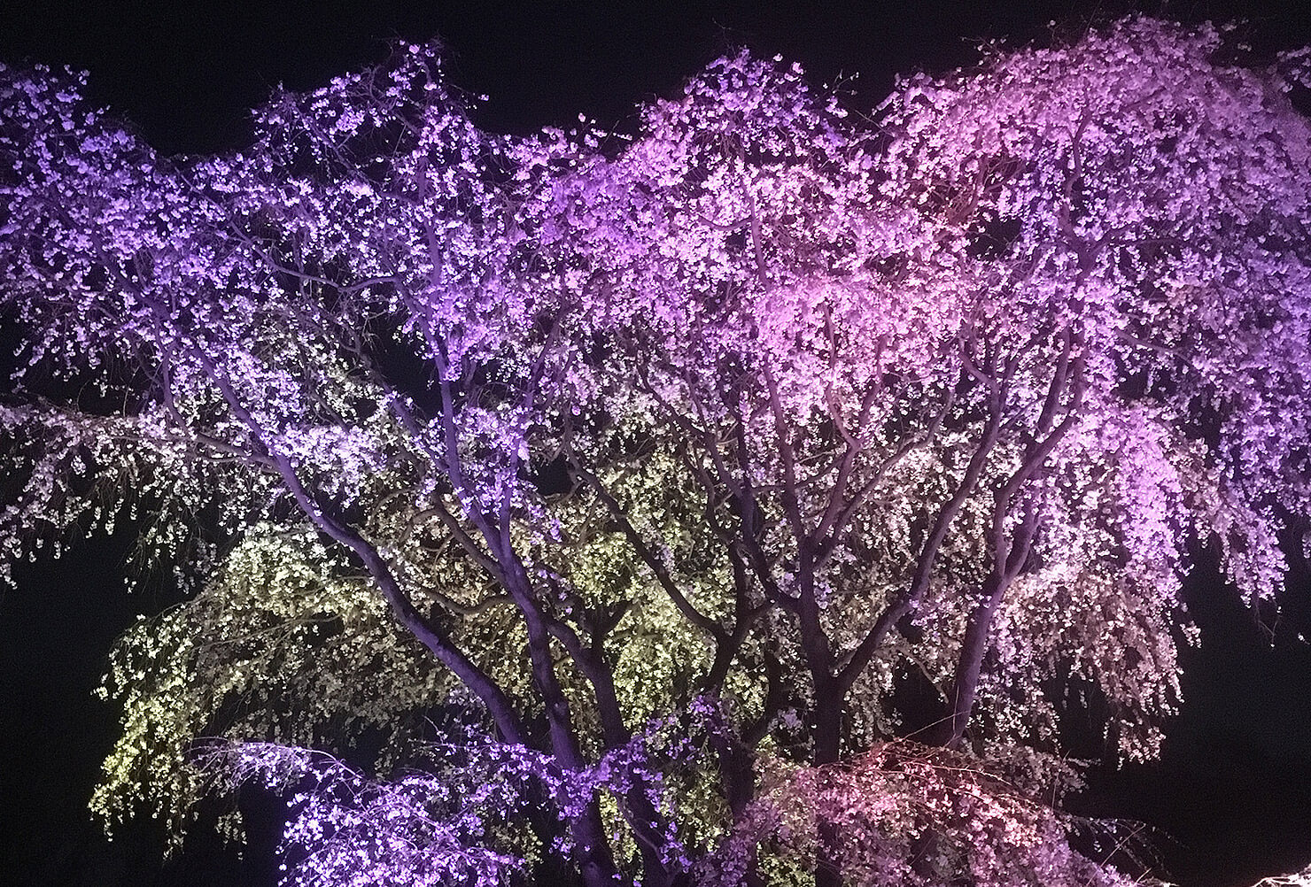 大混雑!駒込 六義園「しだれ桜のライトアップ」で夜桜鑑賞