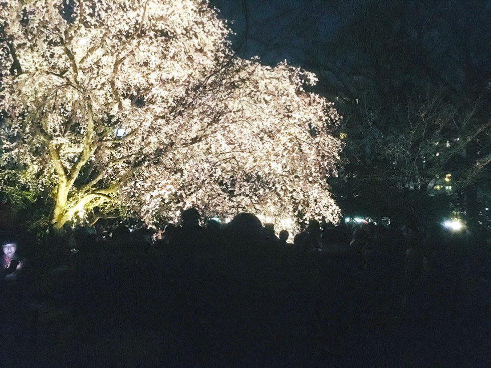 人混みをかき分けてしだれ桜付近まで近付かないと人の頭しか見えないかも?