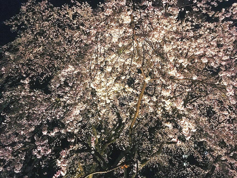 アップでしだれ桜を撮影してみました