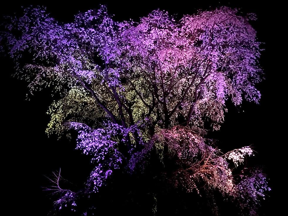 こちらは虹色にライトアップされたしだれ桜